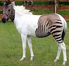 The albino variant zebra may be more effective as camouflage on the savannah.