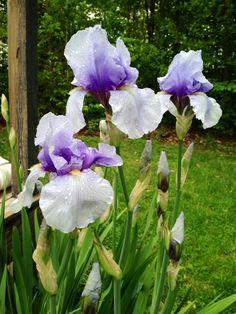 Spring iris 2014