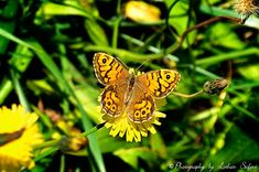 A butterfly with beautiful orange color. Schmetterlinge orange mit schwarzen Punkten, ein Mauerfuchs. Schmetterlinge.  http://www.l-seifert.de/bilder-schmetterlinge/Schmetterlinge-orange.html Pictures and Greeting cards