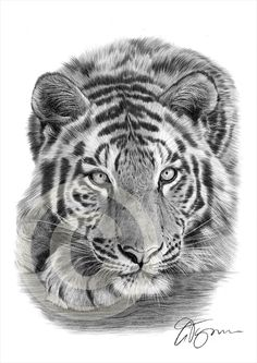 Sumatran Tiger pencil drawing print - A4 size - artwork signed by artist Gary Tymon - Ltd Ed 50 prints only - pencil portrait by GaryTymonArtwork on Etsy https://www.etsy.com/listing/204447002/sumatran-tiger-pencil-drawing-print-a4