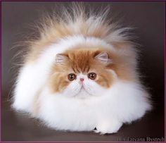 Red tabby and white persian TOY TRICKSY cattery