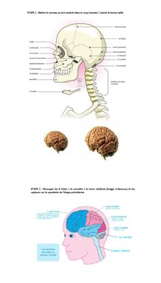 Expliquer le cerveau à un enfant. Téléchargez le dossier complet ici : http://plaisir-d-apprendre.com/expliquer-le-cerveau-a-un-enfant/