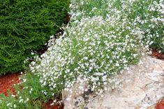 GypsophilaKrypslør Herbs, Stone, Outdoor Decor, Garden, Flowers, Plants, Pink, Wall, Ground Cover Plants