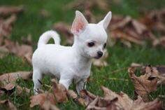 Effective Potty Training Chihuahua Consistency Is Key Ideas. Brilliant Potty Training Chihuahua Consistency Is Key Ideas. Beautiful Dogs, Animals Beautiful, Cute Baby Animals, Animals And Pets, Cute Puppies, Dogs And Puppies, Shih Tzu Hund, Pet Dogs, Dog Cat