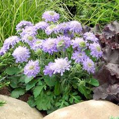 Rare, unusual, exciting plants delivered straight to your door with our No Quibble Guarantee. Plants Delivered, Astrantia, Plant Catalogs, Garden Plants, Perennials, Planting Flowers, Beautiful Flowers, Blue Diamonds, Nature