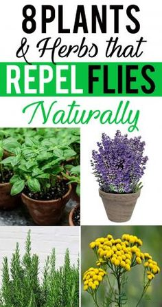 8 Plants and Herbs That Repel Flies Naturally Not just they deter flies, but you'll love them to have in your garden. However, there aren't many such plants that are able to repel flies, below listed plants are genuinely pretty and housed with exceptional Outdoor Plants, Outdoor Gardens, Potted Plants Patio, Outdoor Rooms, Organic Gardening, Gardening Tips, Indoor Gardening, Balcony Gardening, Insect Repellent Plants