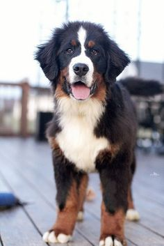 Bernese mountain #Baby Dogs| http://sweet-baby-dogs.lemoncoin.org