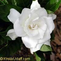 Gardenia Frost Proof - grafted  A small, attractive and symmetrical shrub. Blooms from spring to fall, with a uniquely center cupped shaped flower and small narrow foliage. Profuse bloomer from spring through summer. Prefers slightly acidic soil, regular watering and full to partial sunlight. Relatively frost tolerant, as the name suggests. Great container and indoor plant.