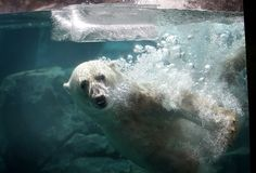 Hudson, a polar bear, cools down by playing with a block of ice during a swim in his enclosure at Brookfield Zoo on July 18, 2013 in Brookfield, Illinois. A heat wave continues to grip much of the country today with temperatures expected to top 90 degrees in forty-seven states. (Scott Olson/Getty Images)