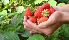 Strawberries and its powerful health benefits