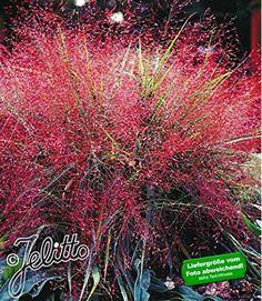 BALDUR-Garten Chinaschilf Zebragras, 1 Pflanze Miscanthus zebrinus ...