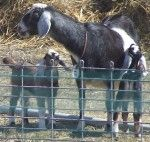 Land of Havilah Farm - naturally raised Nubian Dairy Goats in south central Michigan, herbal dewormer