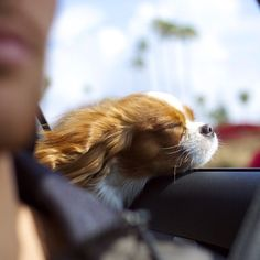 KCCS love travelling in the car with their head out the window .
