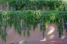 Trailing Rosemary is one of my favorite plants for spilling over a garden wall. Not always hardy in the PNW. Trailing Rosemary is one of my favorite plants for spilling… Back Gardens, Outdoor Gardens, Garden Retaining Wall, Retaining Walls, Gazebos, Walled Garden, Mediterranean Garden, Plant Wall, Flower Farm