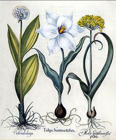 Early Garden Book - Basilius Besler (German botanist, 1561–1629) Hortus Eystettensis 1613