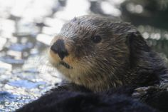 SEA OTTER   Sea Otter   Flickr - Photo Sharing!