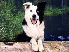 Cool Border Collie.