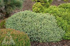 Kigi Nursery - Picea glauca ' Echiniformis ' Miniature Alberta Spruce, $20.00 (http://www.kiginursery.com/dwarf-miniatures/picea-glauca-echiniformis-miniature-alberta-spruce/)