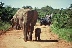 Ultimate Travel Bucket List: Go on a safari in Africa Machu Picchu, Barbados, Taj Mahal, Elephant Camp, Baby Elephant, Travel 2017, African Safari, African Animals, African Art