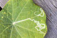 Ötökkätieto – Ötökkäryhmät Plant Leaves, Vegetables, Plants, Vegetable Recipes, Plant, Veggies, Planets