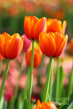 Red Tulips, Tulips Flowers, Flowers Nature, Daffodils, Beautiful Flowers, Lotus Flower Pictures, Flower Images, Flower Photos, Spring Flowering Bulbs