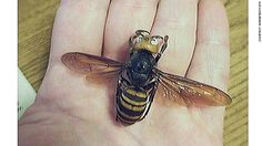 The Asian giant hornet (scientific name Vespa mandarinia) has a venom that destroys red blood cells and can cause multiple organ failure and fatal allergic reactions. More than 40 people have been killed in China by these hornets since July.  CNN News