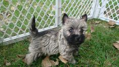Cairn Terrier puppy. I love my Cairn! They are smart, loyal and love to play.
