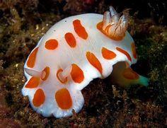 The+Awesome+Colors+of+Deep+Sea+Slugs+2.jpg 464×357 pixels