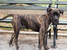 TO BE DESTROYED - TUESDAY - 4/22/14, URGENT - Manhattan Center    ATOM - A0996815 MALE, BR BRINDLE / WHITE, BOXER MIX, 9 mos  STRAY -04/15/2014,