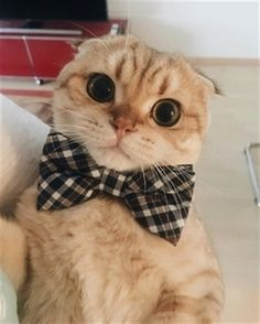 Today I look extra handsome. 𝐒𝐜𝐨𝐭𝐭𝐢𝐬𝐡 𝐅𝐨𝐥𝐝 - Singapura Cat - ideas of Singapura Cat - Today I look extra handsome. 𝐒𝐜𝐨𝐭𝐭𝐢𝐬𝐡 𝐅𝐨𝐥𝐝 𝐜𝐚𝐭 The post Today I look extra handsome. 𝐒𝐜𝐨𝐭𝐭𝐢𝐬𝐡 𝐅𝐨𝐥𝐝 appeared first on Cat Gig. Cat Images Hd, Funny Cat Images, Funny Cat Videos, Funny Cat Pictures, Animals Images, Funny Cats, Kittens Cutest, Cute Cats, Cats And Kittens