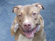 TO BE DESTROYED - 10/26/14 Manhattan Center -P  My name is CHAMP. My Animal ID # is A1007267. I am a neutered male brown and white pit bull mix. The shelter thinks I am about 1 YEAR 3 MONTHS old. For more information on adopting from the NYC AC&C, or to  find a rescue to assist, please read the following: http://urgentpetsondeathrow.org/must-read/