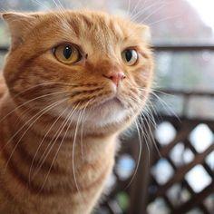 ・ 11.24.2016 ❄️ 今朝の大雪の時のpic  寒くても、ベランダで、外の空気を味わうジョニたん😸  #みんにゃに元気を届け隊 #スコティッシュフォールド #猫 #茶トラ #折れ耳 #スコ  #ねこ #neko  #cat #catlover #chat #bestcats_oftheworld #redtabby #orangecat #scottishfold #classictabby #tabbycat  #ねこのいる生活 #ねこ部 #愛猫 #みんねこ #nekostagram