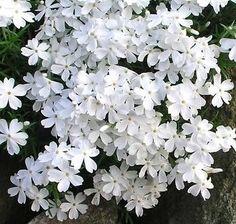 Phlox subulata `Maischnee` (Kruipende vlambloem)
