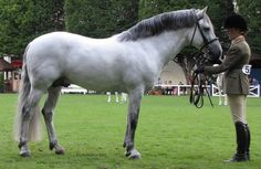 Cheeky Bobby Sparrow, 2000 Connemara Pony Stallion by Ashfield Bobby Sparrow