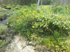Yellow Flowers In River Bank                                If you want to see More Click Below.    Also Find us on:  http://hometownvintage.com http://autopartspuller.com http://preppersencyclopedia.com @HomeTownVintage @autopartspuller @preppershowto http://facebook.com/hometownvtg http://facebook.com/AutoPartsPuller