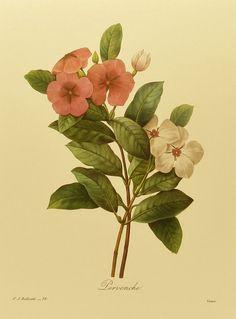 Periwinkles Cottage Decor, Botanical Print, Redoute Flower Print, Botanical Art…