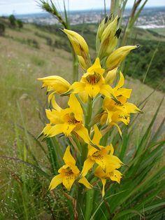 Chloraea gavilu Meadow Flowers, All Flowers, Growing Flowers, Exotic Flowers, Orange Flowers, Planting Flowers, Beautiful Flowers, Orchid Flowers, Orchid Plants