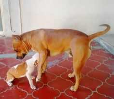 Knowing daddy #Liothebully #bully #mydog #mypup #APBT #strongdog #sleepyhead #handsomedog #pitbulllove #pitbullofinstagram #dogsofinstagram #pitbull #respectforpitbulls #dontbullymybreed #reflectsmypersonnotitsbreed #happypup #doggystyle #dogsrule #doggyt