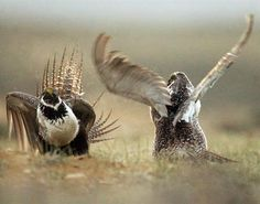 2016-9-8 - Ag secretary says private investment needed to help grouse - In this May 9, 2008, file photo, male sage grouses fight for the attention of females southwest of Rawlins, Wyo. U.S. Agriculture Sec. Tom Vilsack announced Thursday, Sept. 8, 2016, that almost $1.3 million in grants are being awarded to two private-sector programs aimed at conserving greater sage grouse across the American West. (Jerret Raffety/The Rawlins Daily Times via AP, File)