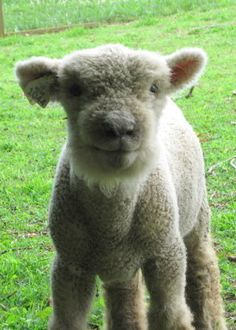 baby doll sheep - Google Search