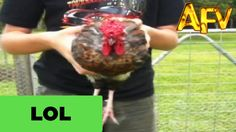 Hypnotic Chicken - AFV