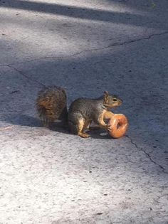 """""""They See Me Rollin' They Hatin' """" """"squirrelhq:  Photo from: https://www.facebook.com/uscsquirrels?fref=ts  """""""