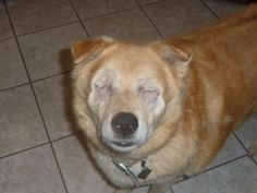 In Everman, TX: 10yo Blind Chow Pleading for a Home or Rescue Offer ASAP!!! Please get this out there! this poor baby needs our help! Please click on his pictures... on the bottom of the page you will be able to use the tool to share on FB and other social networks (Pinterest, Twitter, LinkedIN, Stumble Upon, Tumblr, Google+ and others).