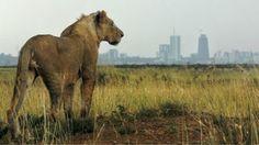 """""""O Grito do Bicho"""": Quênia recaptura leões e filhotes fujões de parque...                                                                                                                                                                                 Mais"""