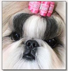 Shih Tzu~Heyleigh: CH Intuition's Hey Good Look N'