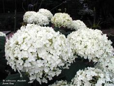 "Growing ""Annabelle"" Hydrangeas"
