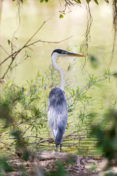 The Cocoi Heron (Ardea cocoi) is a species of heron in the Ardeidae family. It is common and widespread throughout most of South America including Argentina, Bolivia, Brazil, Chile, Colombia, Ecuador, French Guiana, Guyana, Panama, Paraguay, Peru, Suriname, Uruguay, and Venezuela.