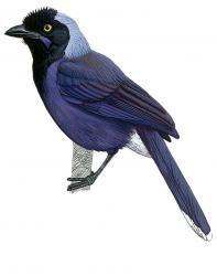 Azure-naped Jay (Cyanocorax heilprini)