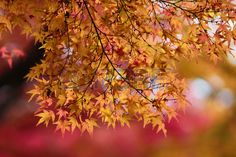 japanese red maple tree background during fall season, Kyoto, Japan