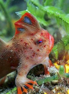 Handfish relative to the angler fish walks!